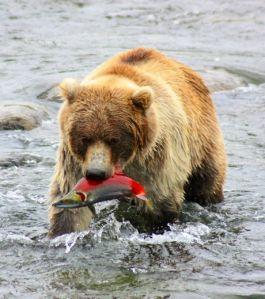 un-grizzly-s-apprete-a-deguster-un-saumon-sockeye-en-alaska-credits-claude-grandpey_47070_w460