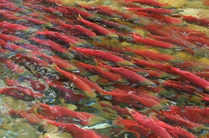 Wild Sockeye Salmons