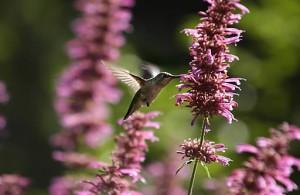 Oiseau Mouche sur Anis Hysope