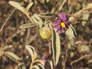 Solanum, tomate du bush