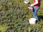 Cueillette des myrtilles sauvages de Nouvelle Ecosse