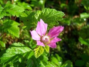 framboise_arctique_fleur